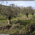 Pruned olive trees