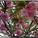 Portland in full bloom