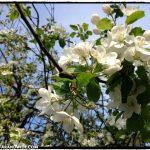 Portland, Oregon in bloom.