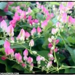 Chiang Mai flowers.