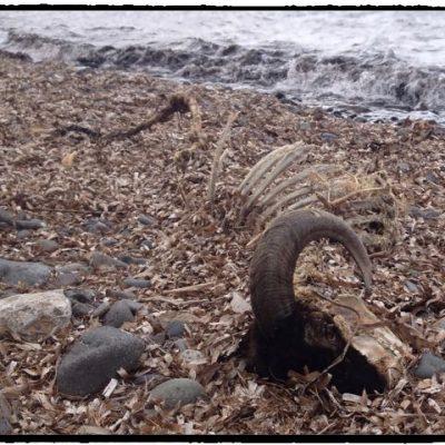 Sheep carcass on the beach