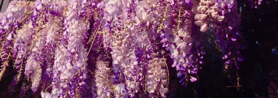 Wisteria Bloom in Molyvos, Greece